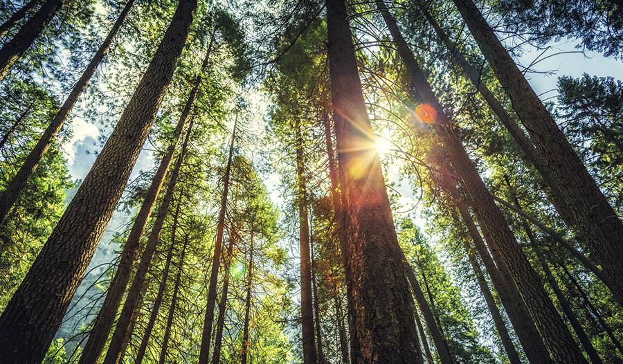 14 Health Benefits of Pine Bark Extract