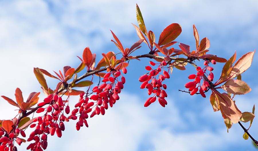 Barberry branch against the sky