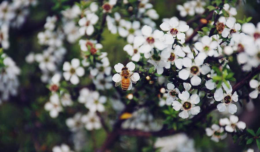 Bee on white flowers of a manuka bush