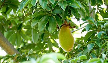 The Many Benefits of Baobab Powder
